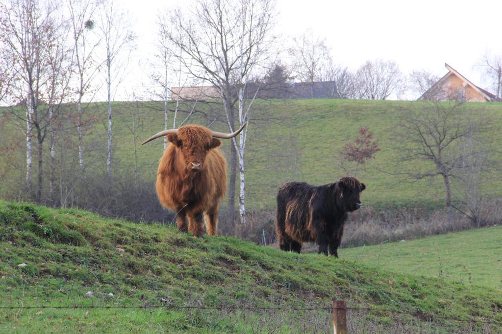 """Zottln"" Highland Cattles"